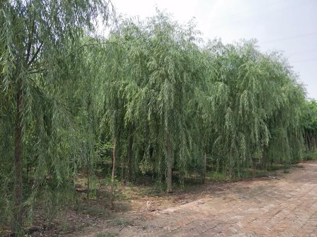 东莞6公分白蜡种植基地